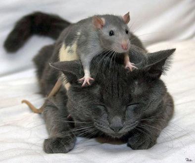 γατα και ποντίκι