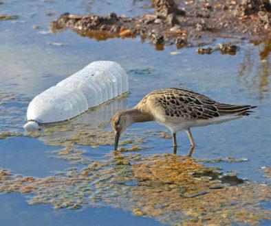 sandpiper feeding on marsh near a plastic bottle