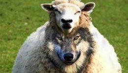 λύκος- πρόβατο-wolf-lukos-probato